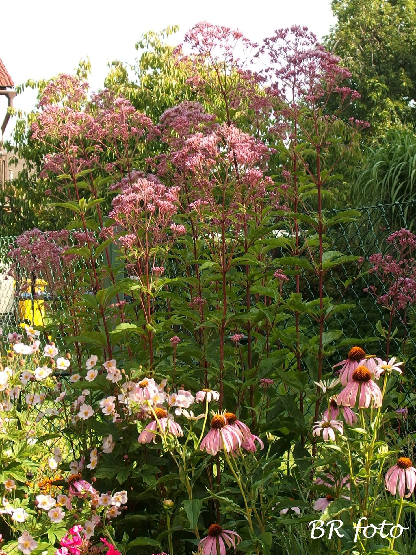 Zahrada v létě - sadec konopáč, hodně vysoká nenáročná trvalka