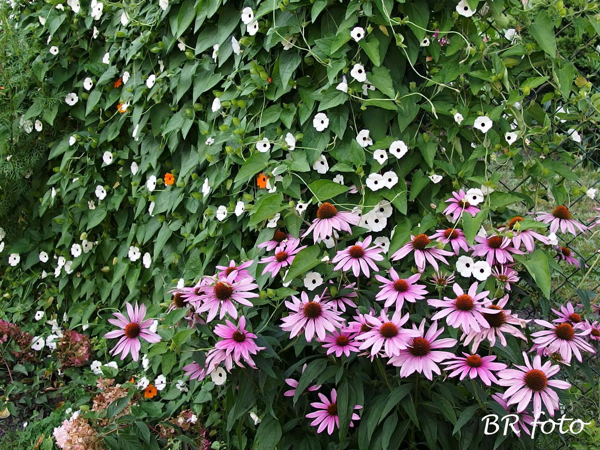 Zahrada v létě - černooká Zuzana krásně pokryla plot, echinacea si tam v trávě u plotu vyrostla sama...