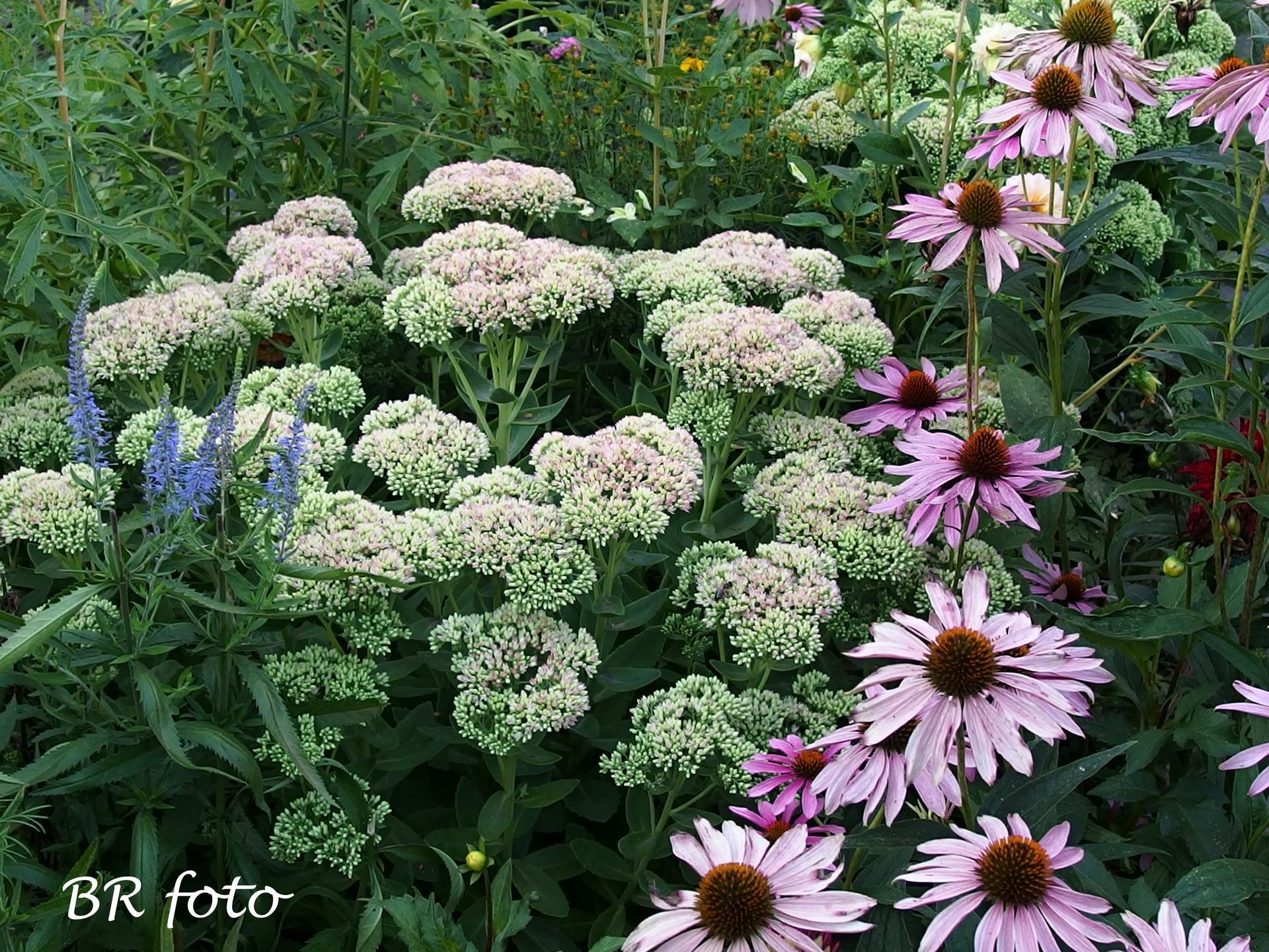 Zahrada v létě - brzy rozkvetou rozchodníky