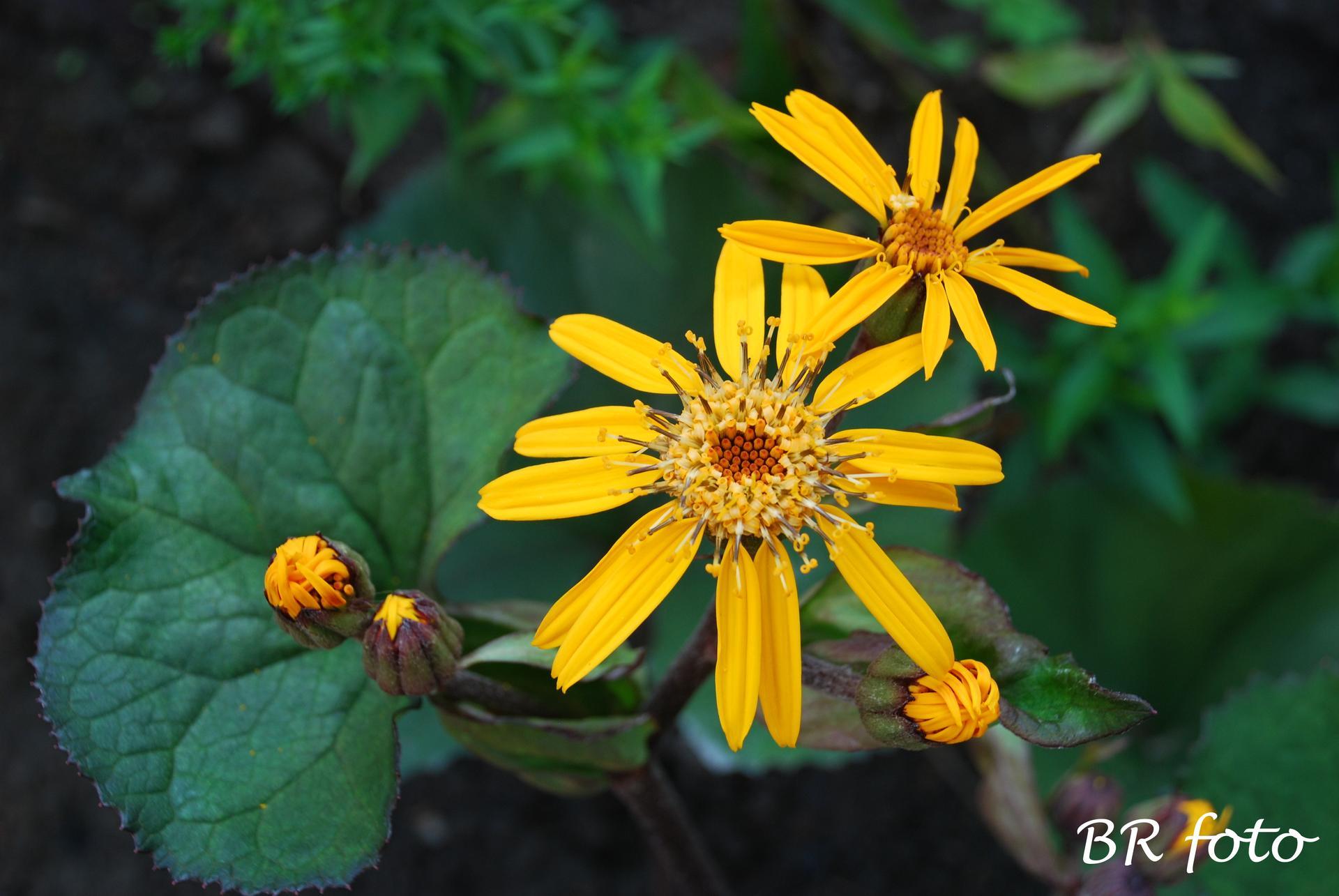 Zahrada v létě - malá hádanka - kdo pojmenuje poměrně málo rozšířenou trvalku? kdo ji má na zahradě? já teprve od letoška....
