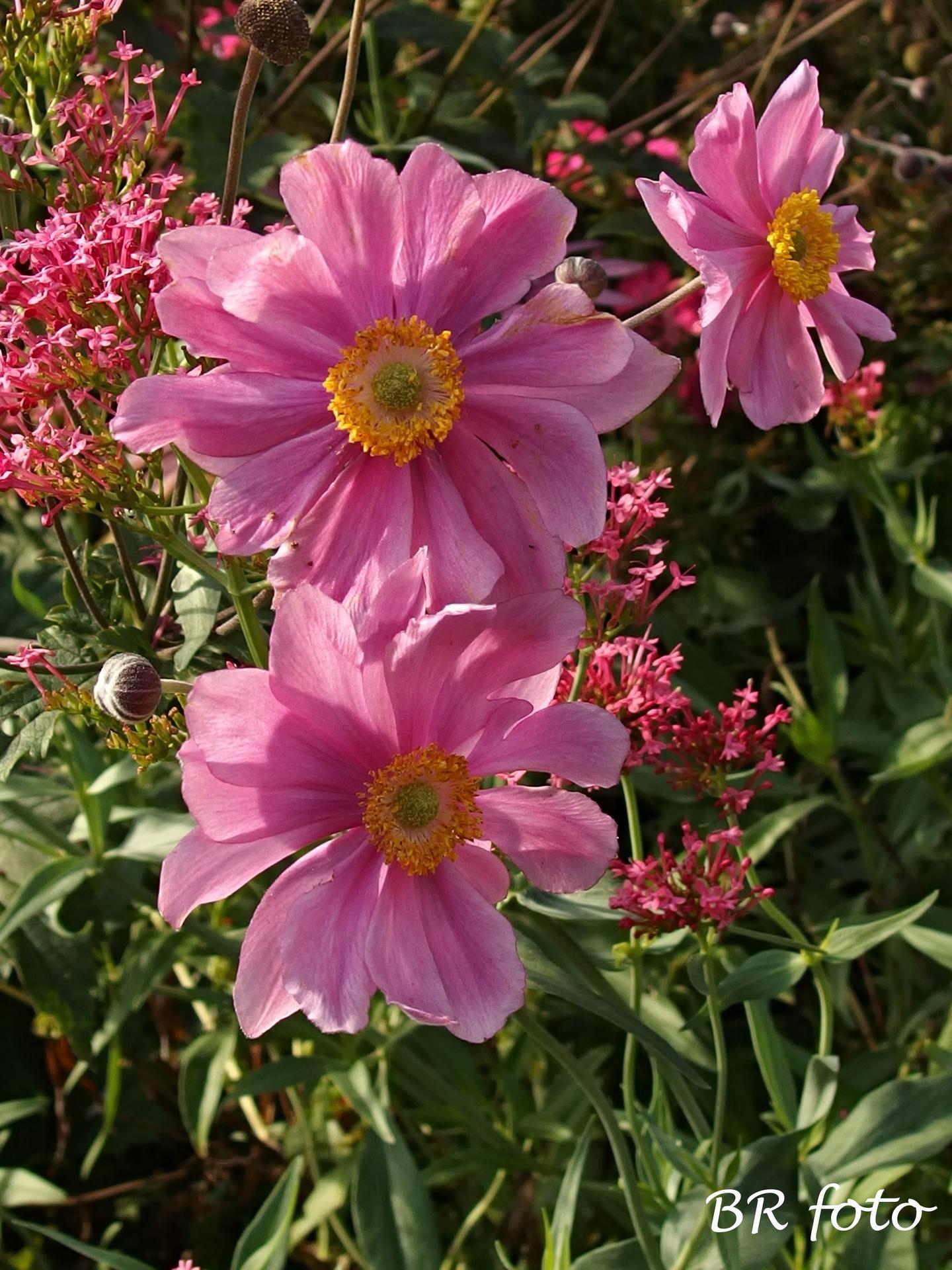 Zahrada v létě - plnokvětá sasanka