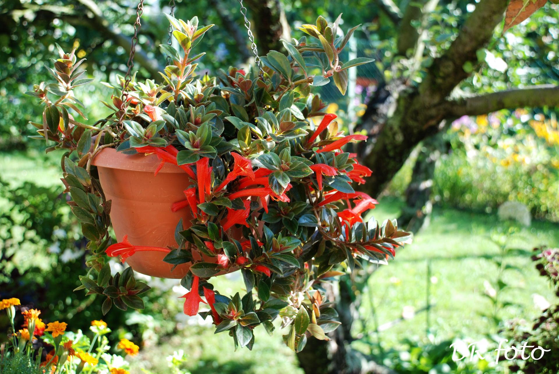 Zahrada v létě - kolumnea - pokojovka, letní pobyt na zahradě jí prospívá