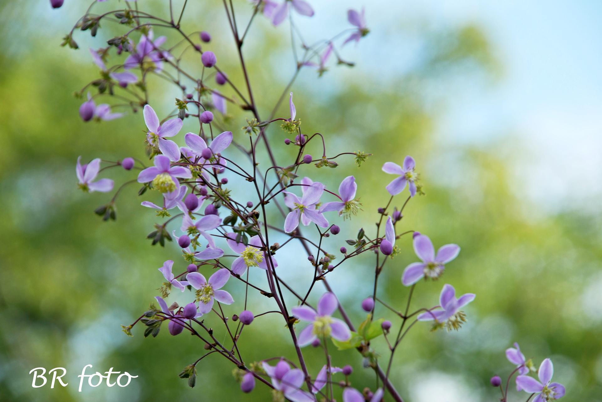 Zahrada v létě - detail květu žluťuchy vysoké