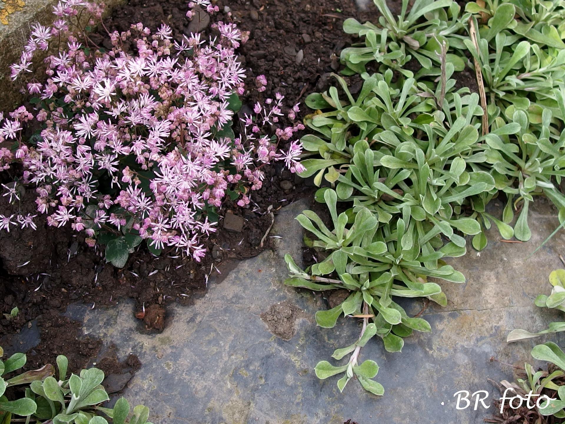 Zahrada v létě - žluťucha skalnička
