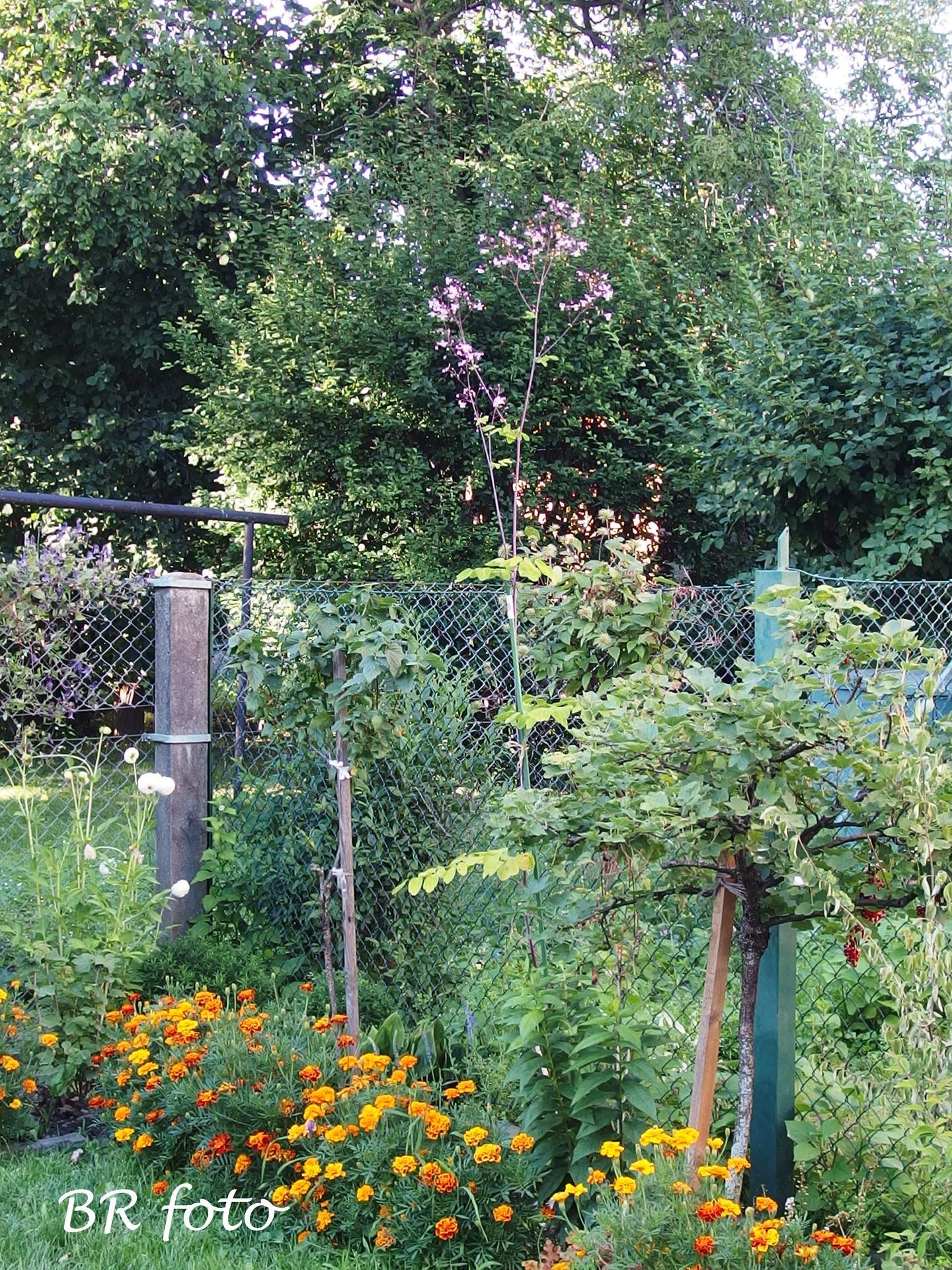 Zahrada v létě - žluťucha orlíčkolistá