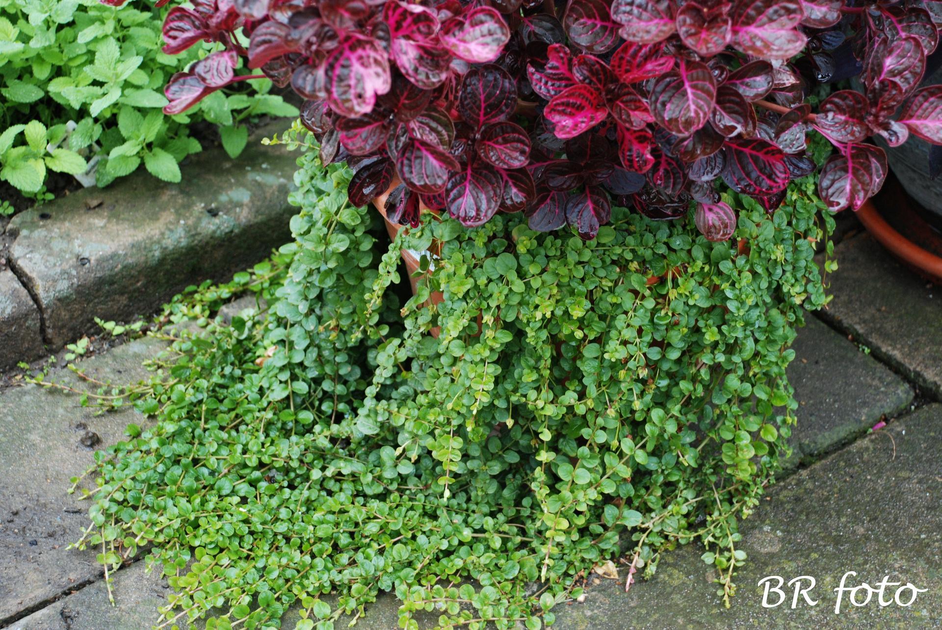 Zahrada v létě - irezína a vrbina penízková