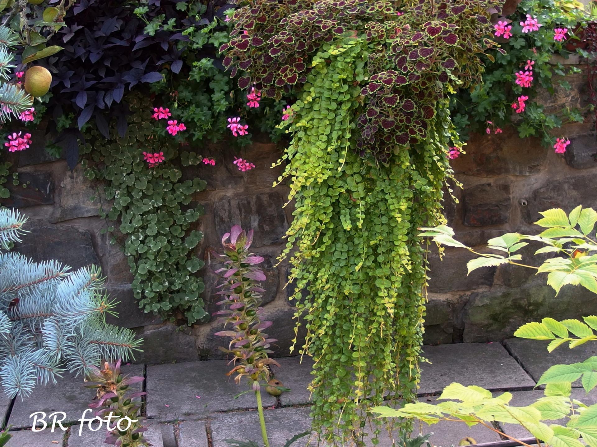 Zahrada v létě - vrbina penízková a coleus