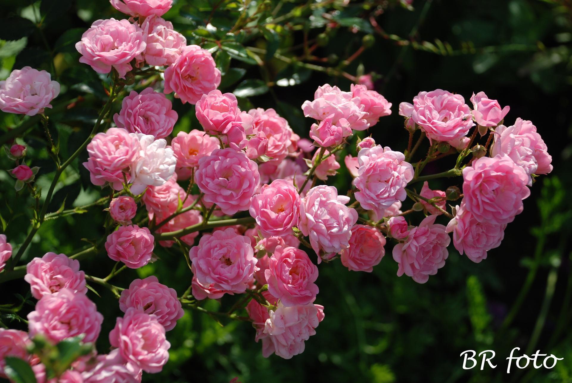 Zahrada v létě - všechny růže letos poničené deštěm, jen The Fairy je krásná a obsypaná květy
