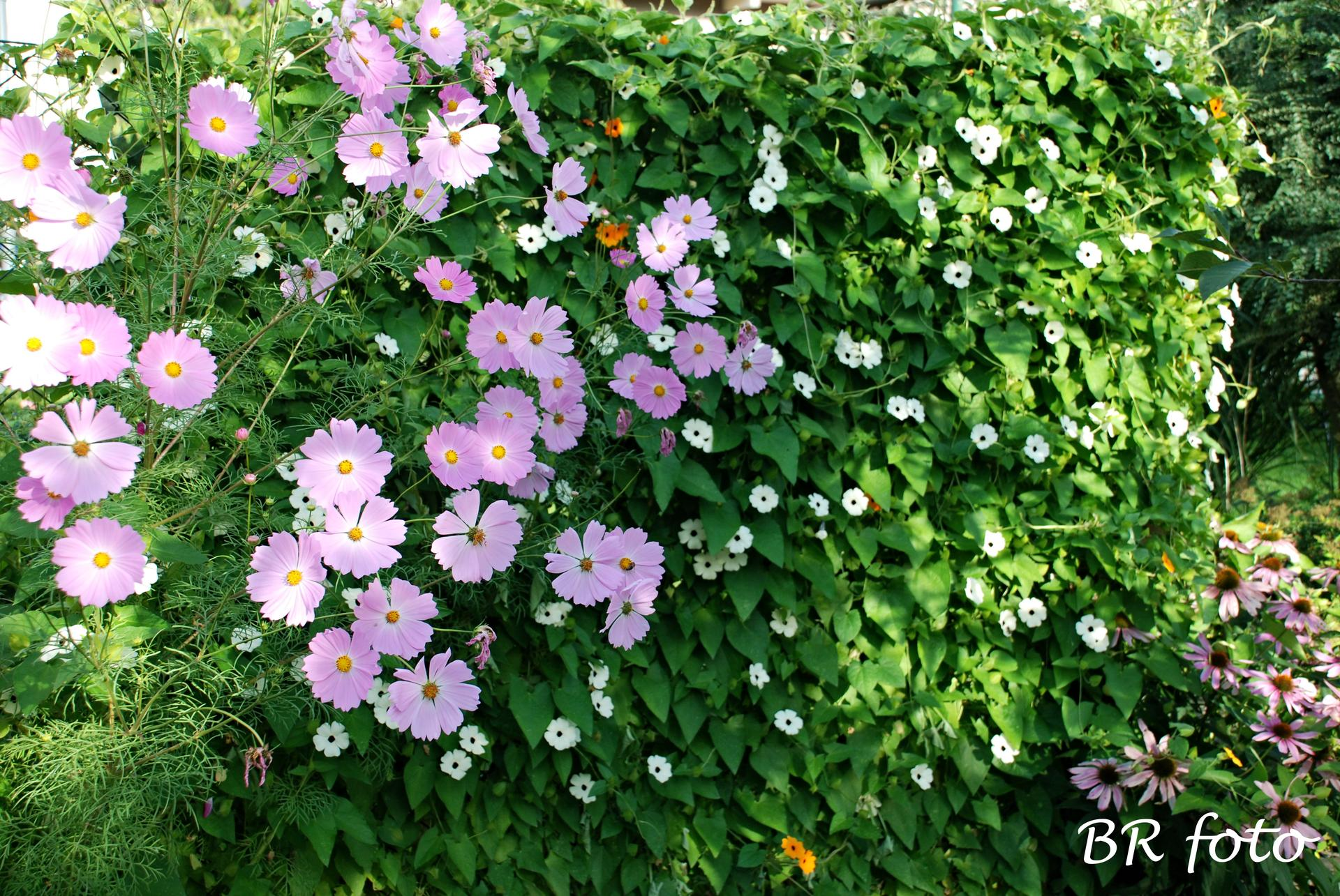Zahrada v létě - krásenka a smatavka /černooká zuzana/