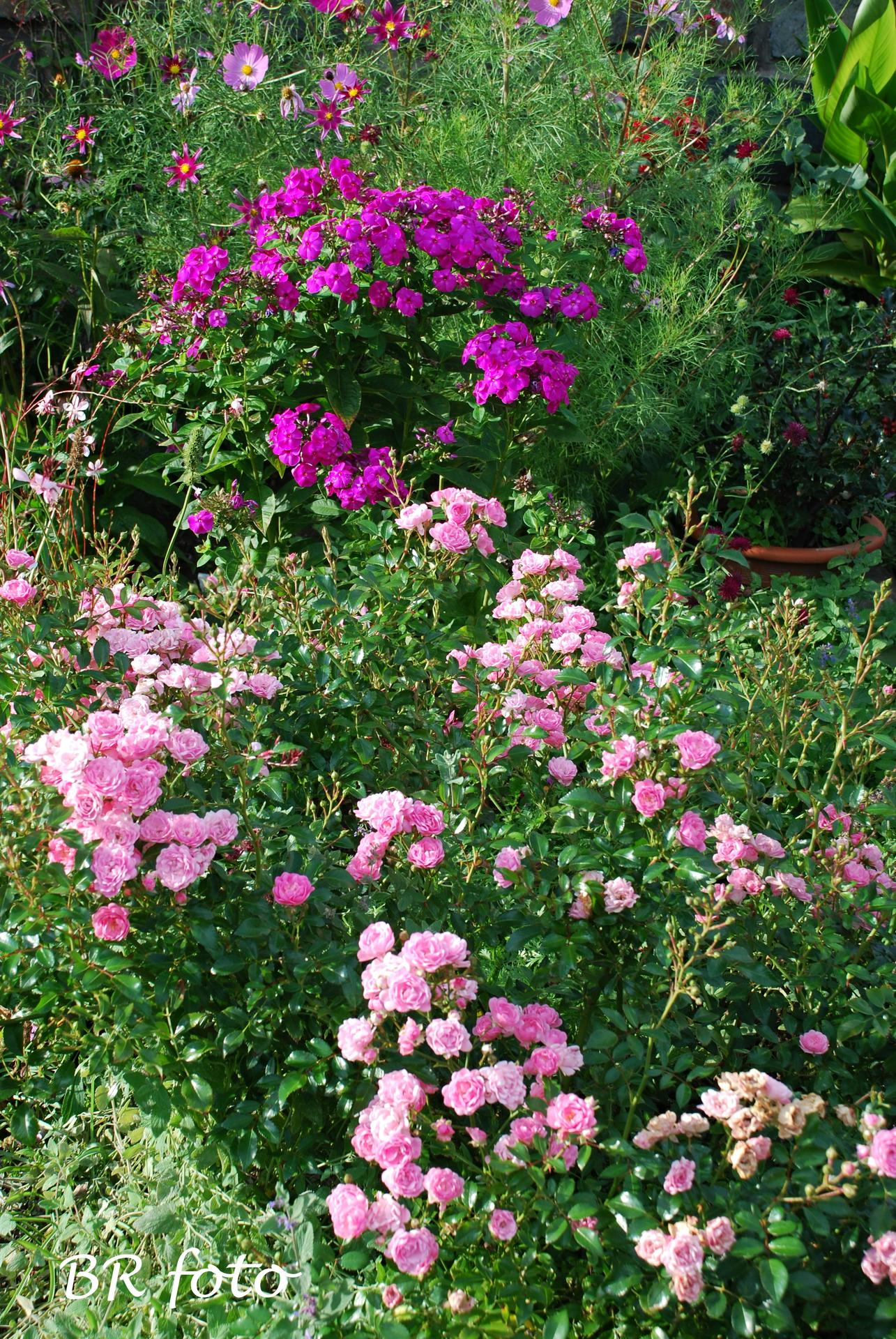 Zahrada v létě - růže The Fairy, floxy. krásenka