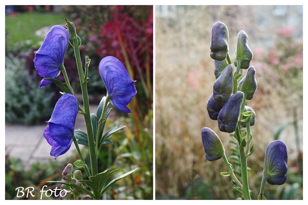 Vítej, podzime.... - oměj šalamounek, jedovatá trvalka, roste i ve volné přírodě v podhorských oblastech