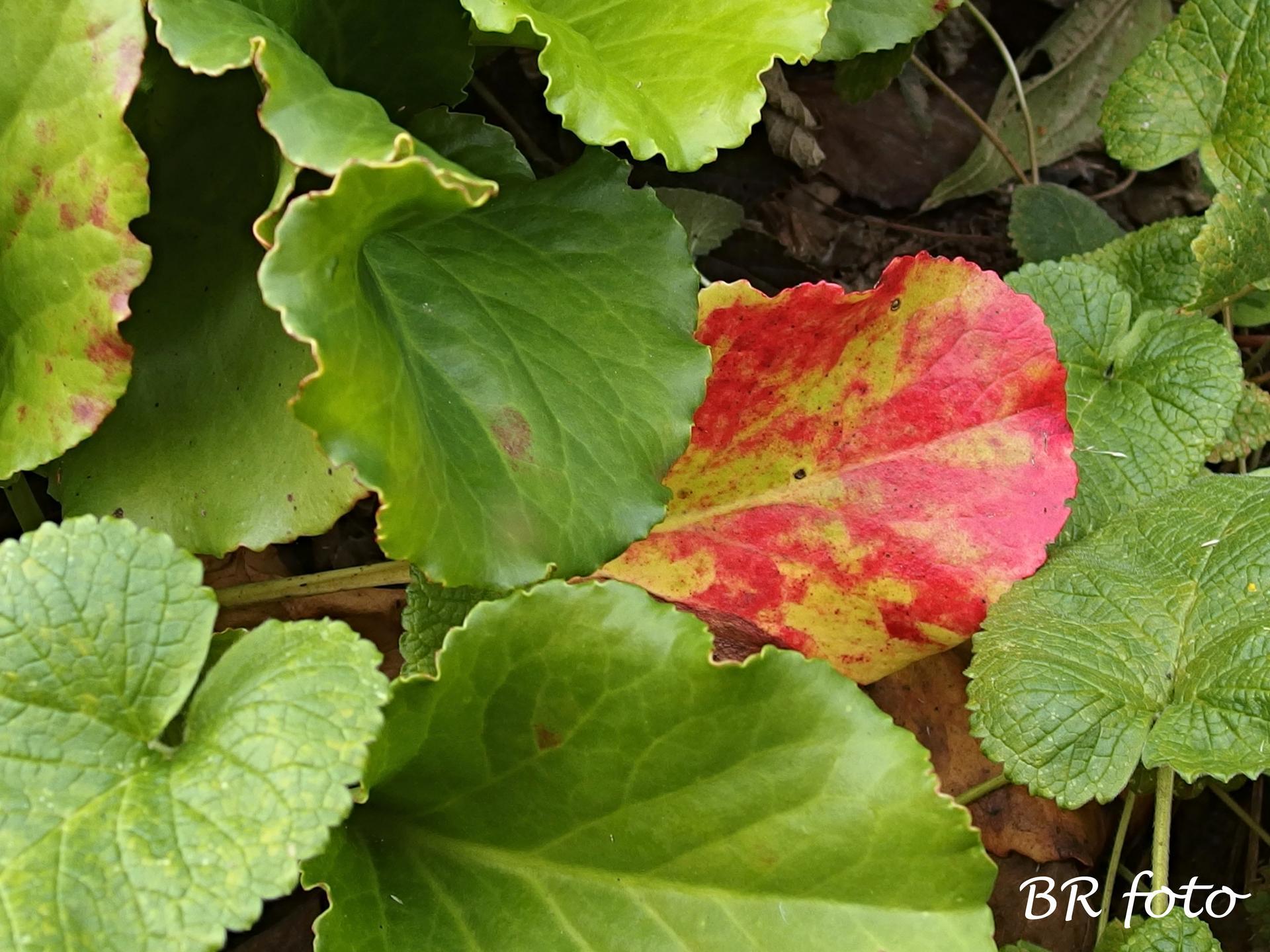 Vítej, podzime.... - listy bergénie se začínají podzimně vybarvovat