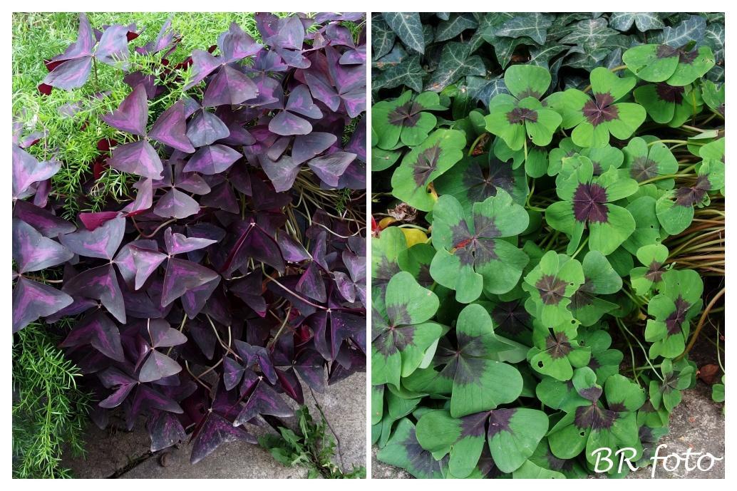 Vítej, podzime.... - oxalis - odstraním listy, hlízky nechám bez zálivky v zemině v květináči, na jaře hlízky vyberu a zasadím do nové zeminy