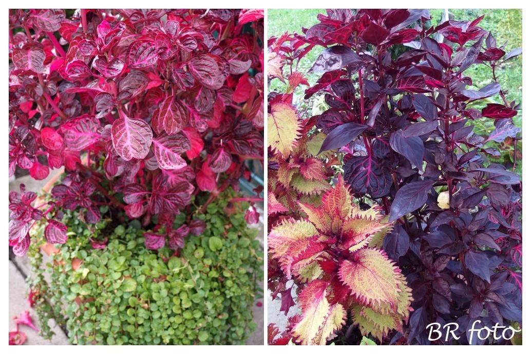 Vítej, podzime.... - irezína - dvě odrůdy, musím si odříznout oplégry a zakořenit ve vodě, zbytek vyhodím
