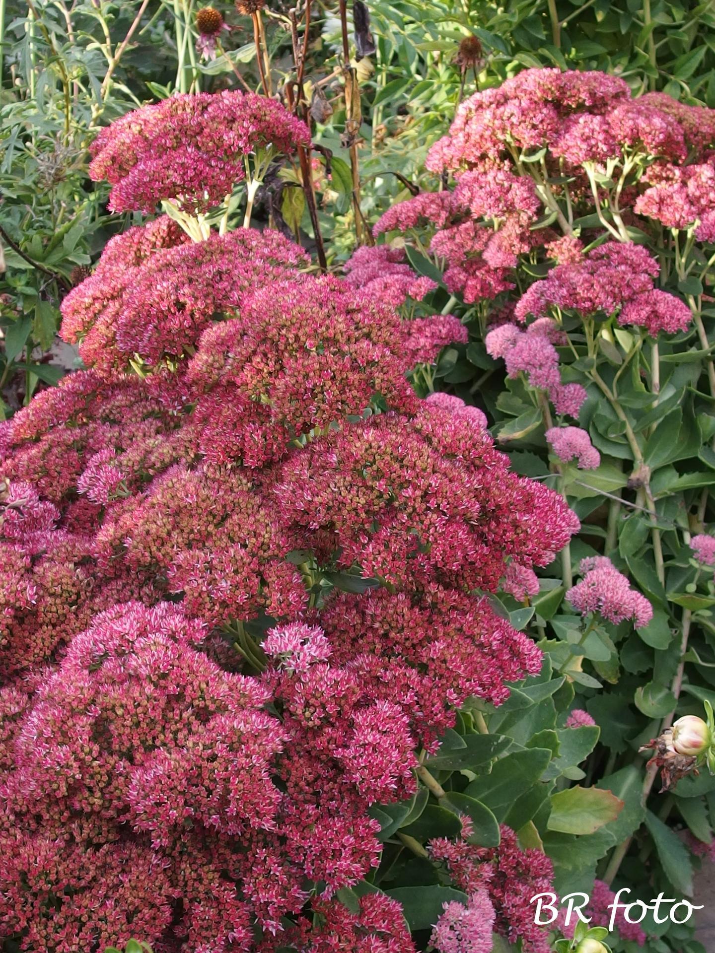 Vítej, podzime.... - rozchodník - tento vždycky nádherně kvete