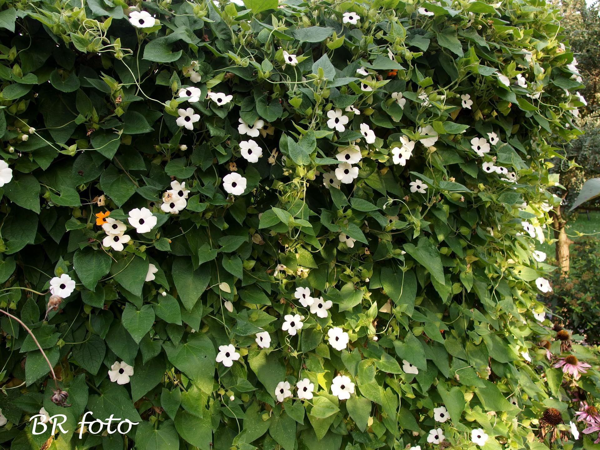 Vítej, podzime.... - černooká zuzana stále zdobí na plotě a dělá clonu