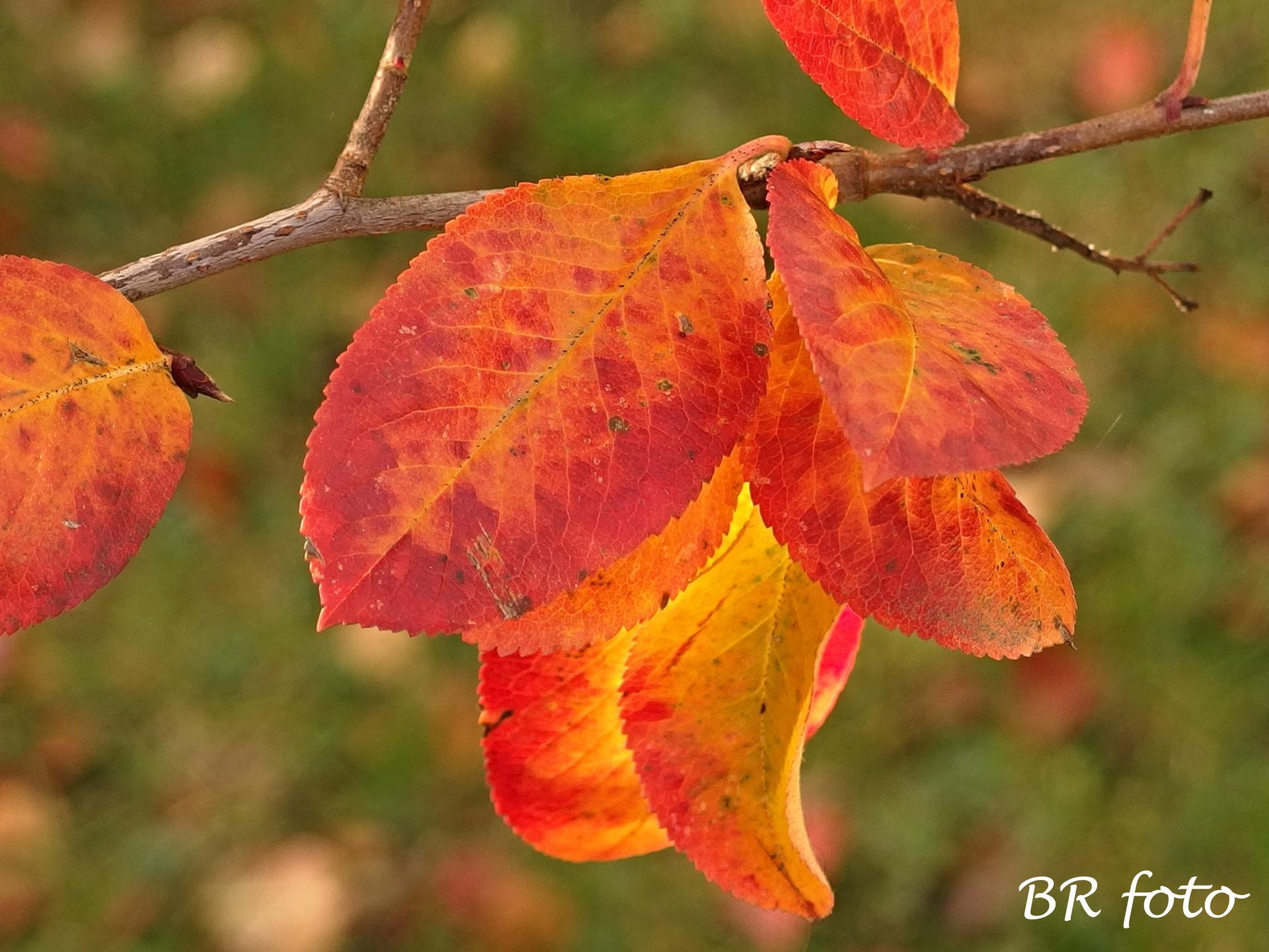 Vítej, podzime.... - aronie, černý jeřáb