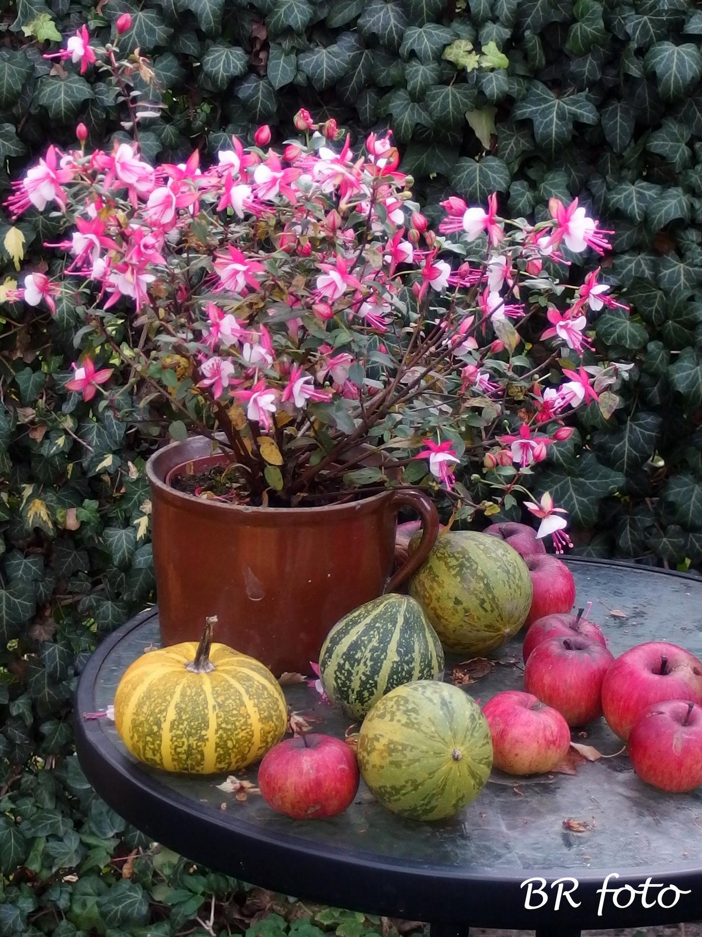 Vítej, podzime.... - fuchsie milují anglické deštivé počasí, proto se jí letos tak daří, kvete bez přestávky od května dosud