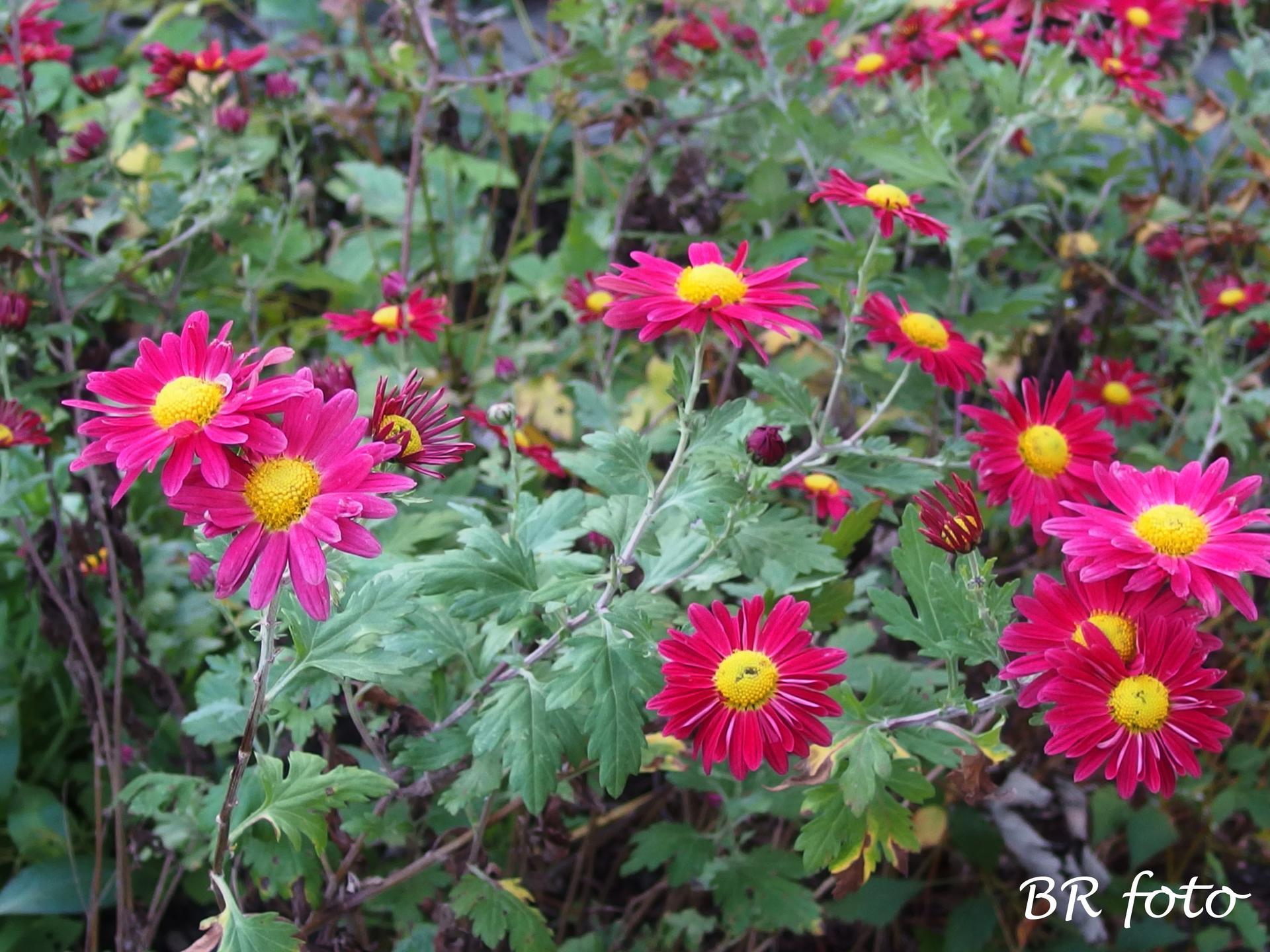 Vítej, podzime.... - poslední letošní květy, ještě mi pokvetou oranžové listopadky