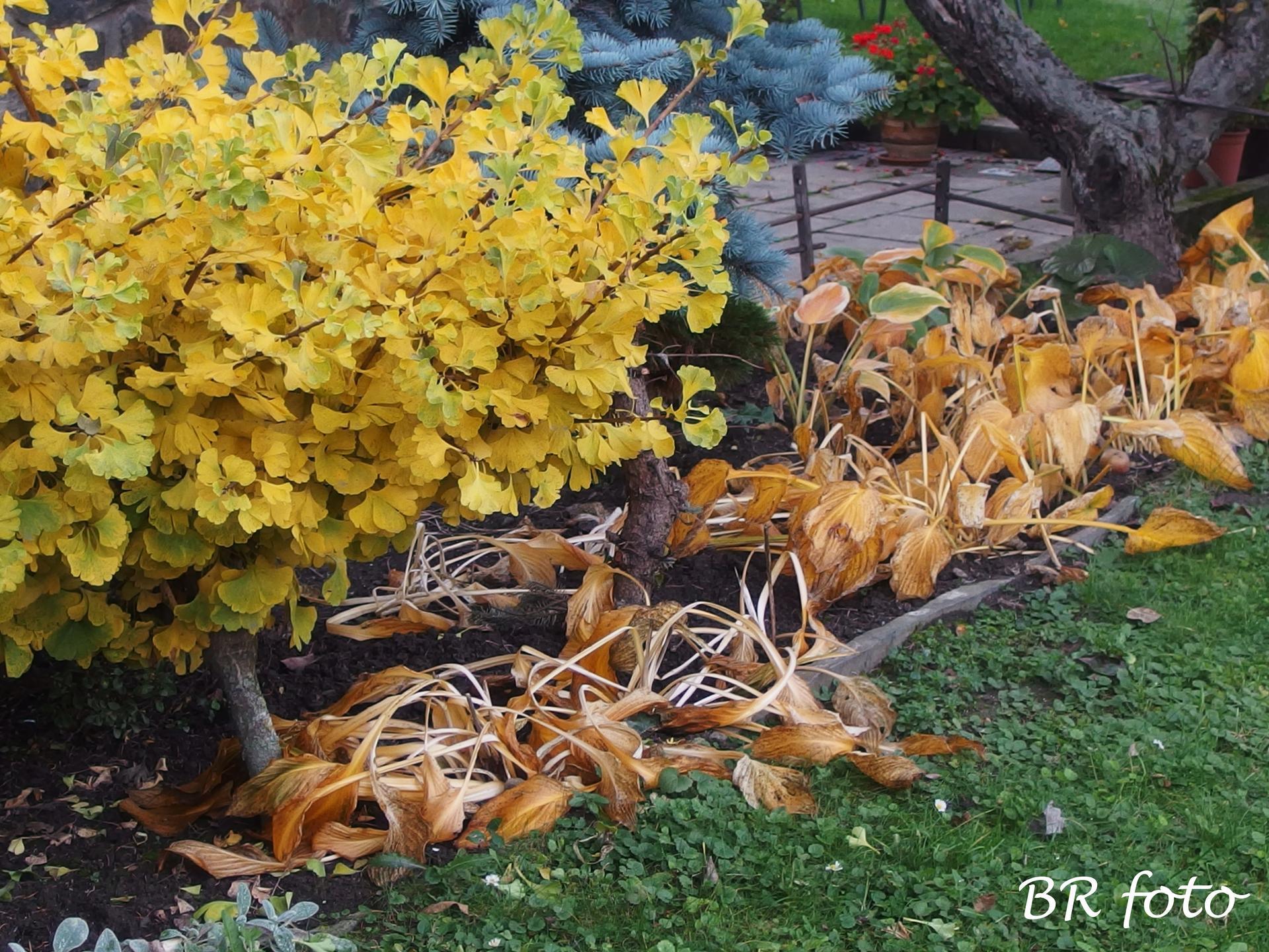 Vítej, podzime.... - zakrslý jinan a zežloutlé hosty - hosty už jsem ostříhala