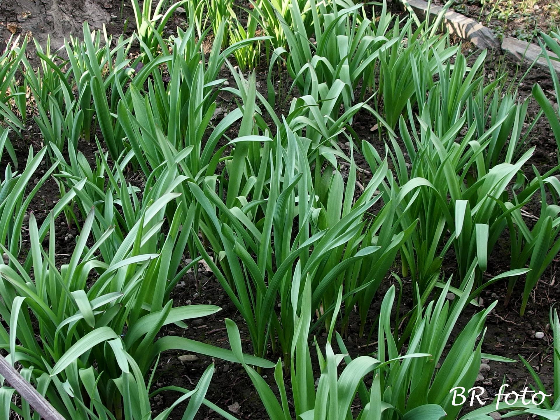 Pozvání do zahrady 2021 - záhon, kde je vysázeno 100 okrasných česneků