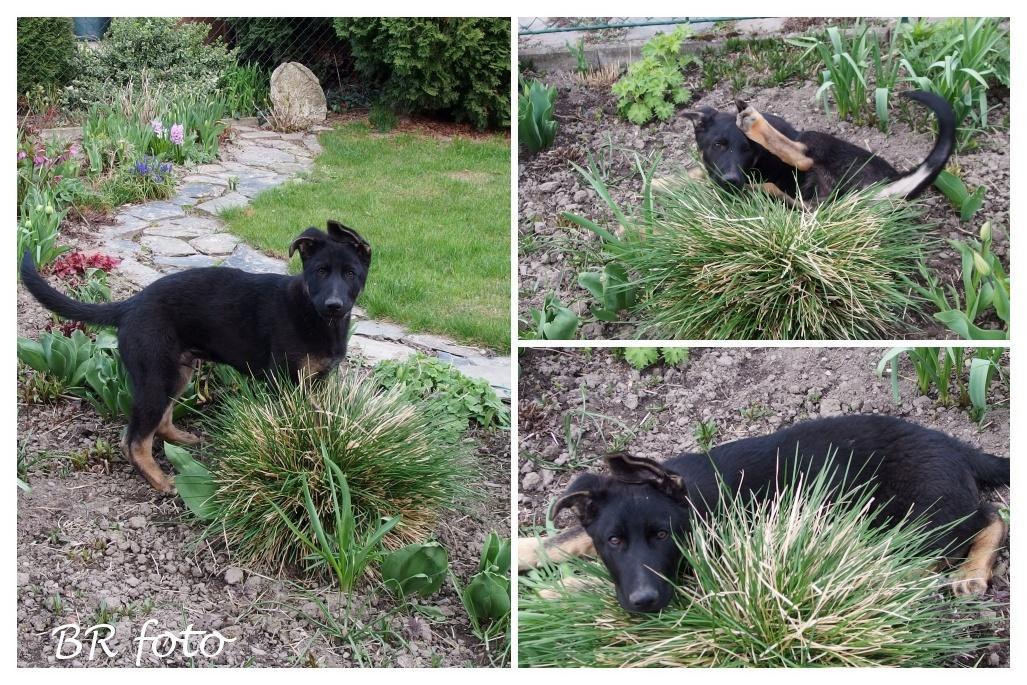 Pozvání do zahrady 2021 - čertík si oblíbil hlavně okrasné trávy, rád je cupuje a válí se v nich....