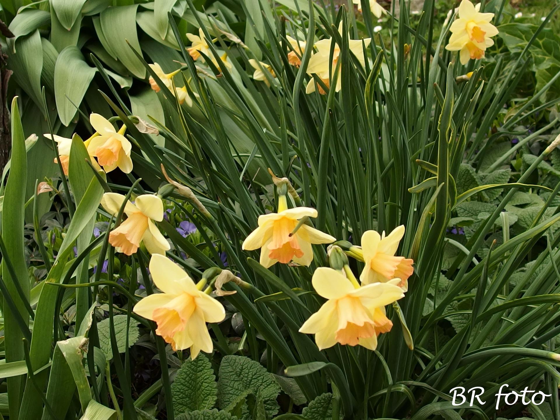 Pozvání do zahrady 2021 - narcisy z Lidlu