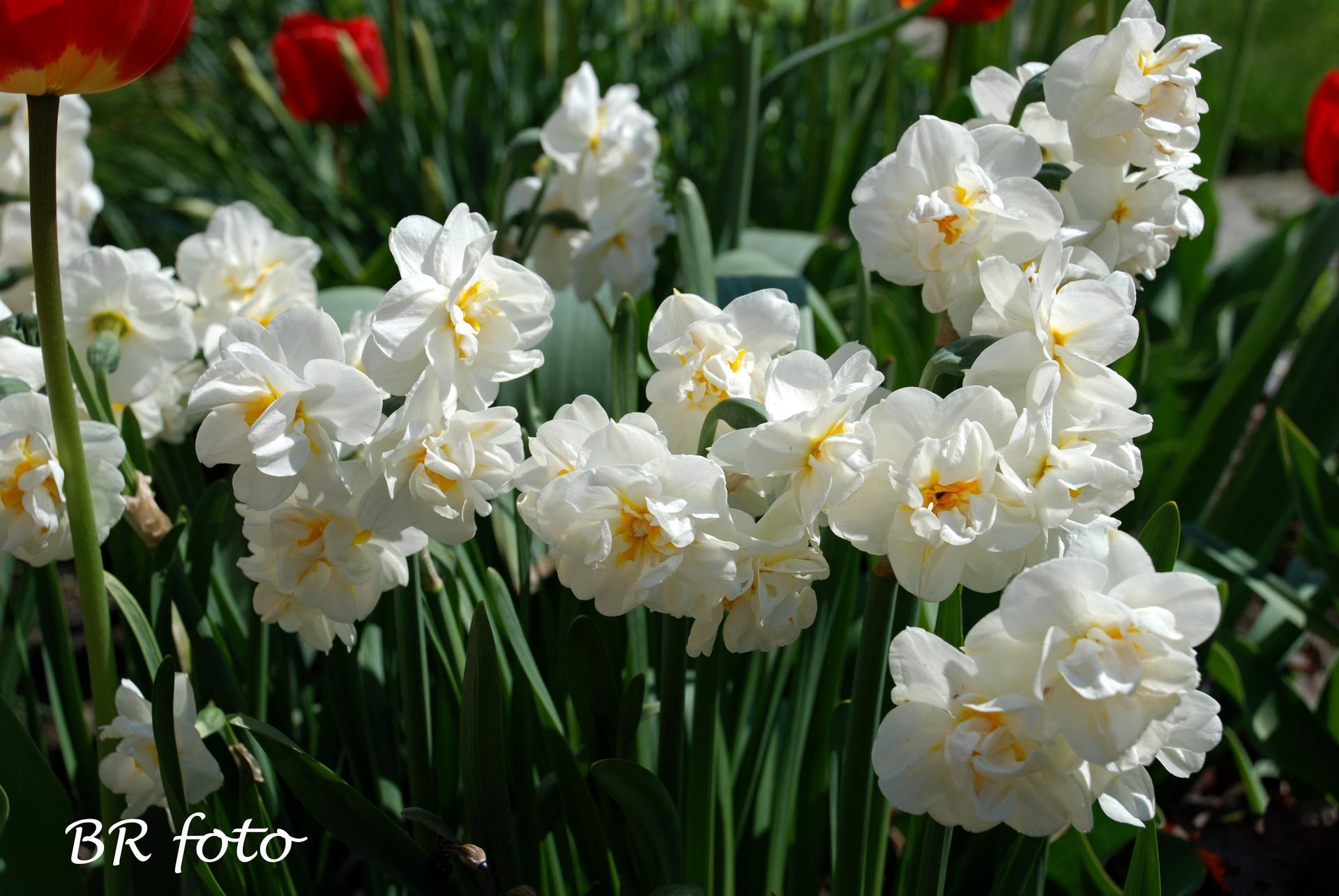 Pozvání do zahrady 2021 - tyhle narcisky miluju....letos jsou nádherné, krásně voní ve váze