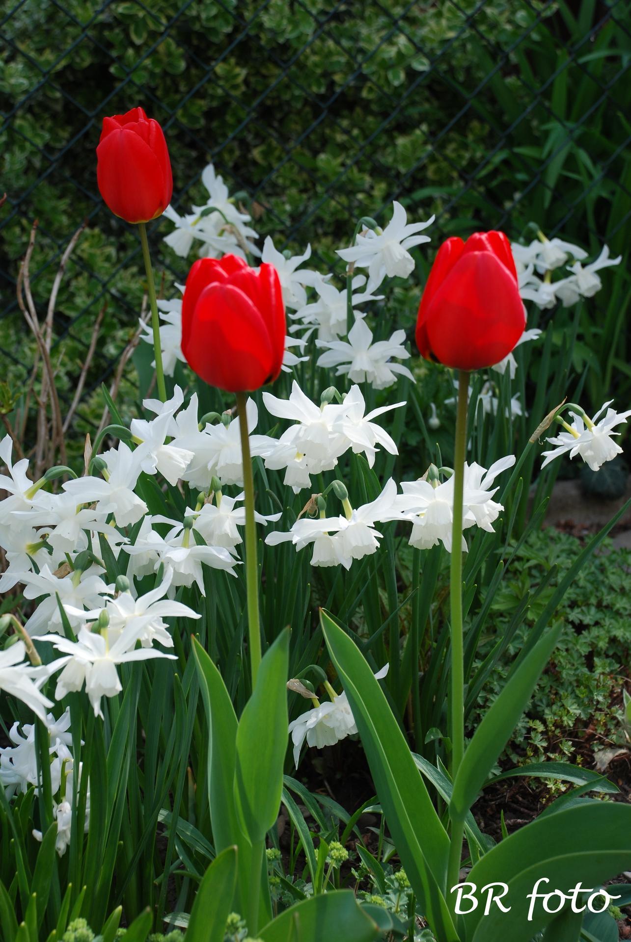 Pozvání do zahrady 2021 - i narcis Thalia se letos vydařil