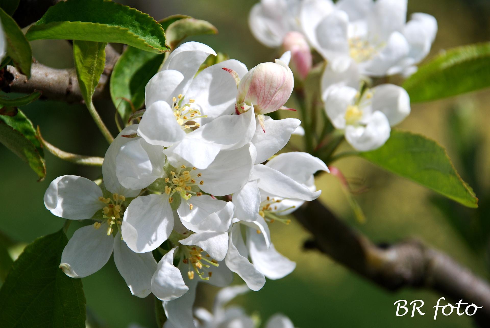 Pozvání do zahrady 2021 - květy jablůňky