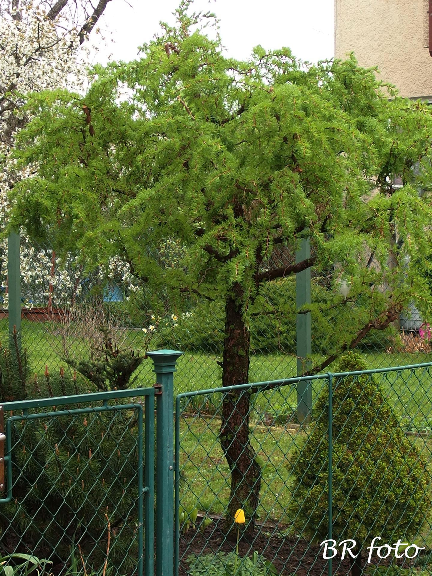 Pozvání do zahrady 2021 - modřín snáší jarní řez - naštěstí, protože jsme omylem koupili velký strom