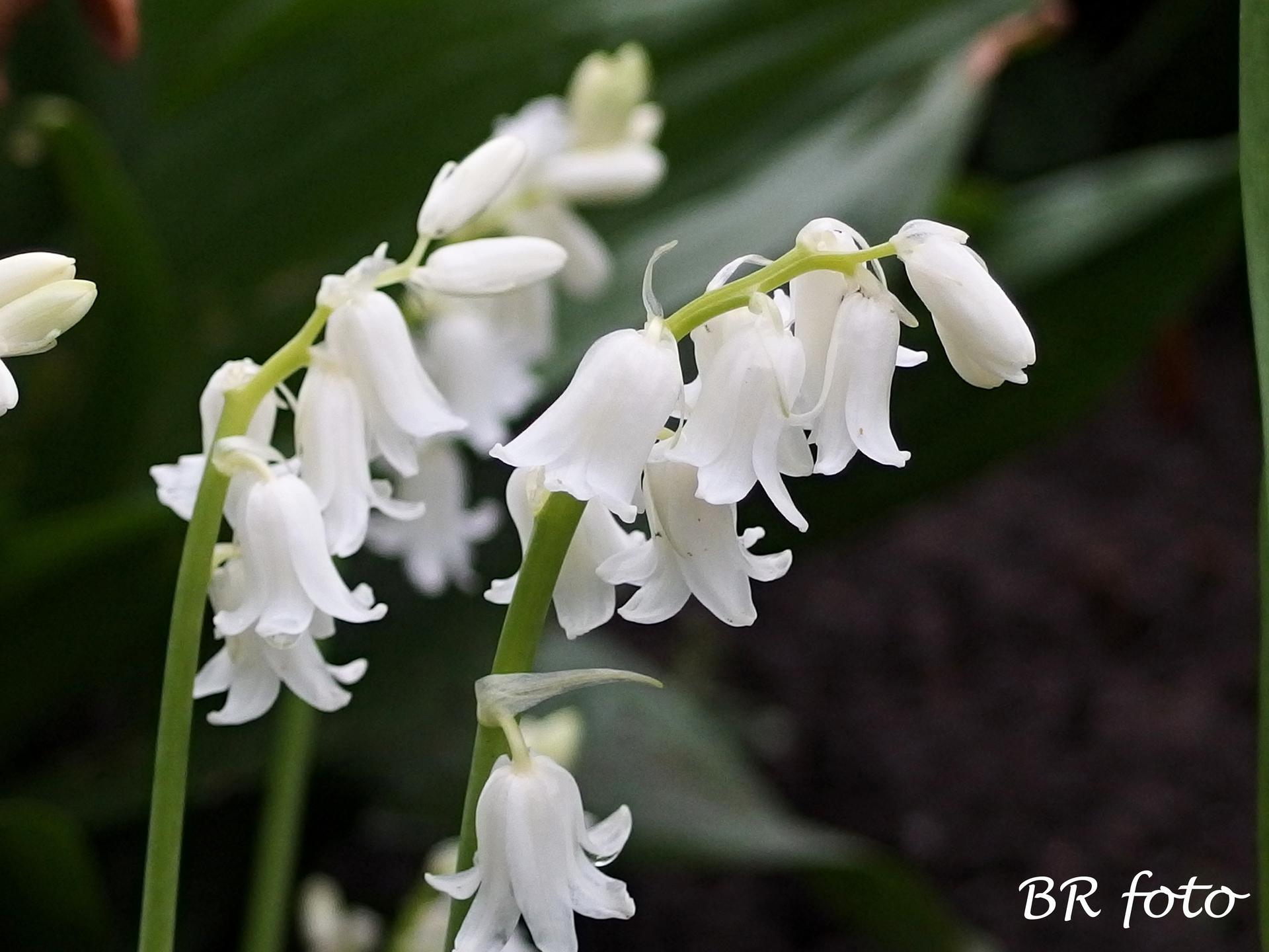 Pozvání do zahrady 2021 - bílý hyacintovec - na první pohled vypadá jako konvalinka