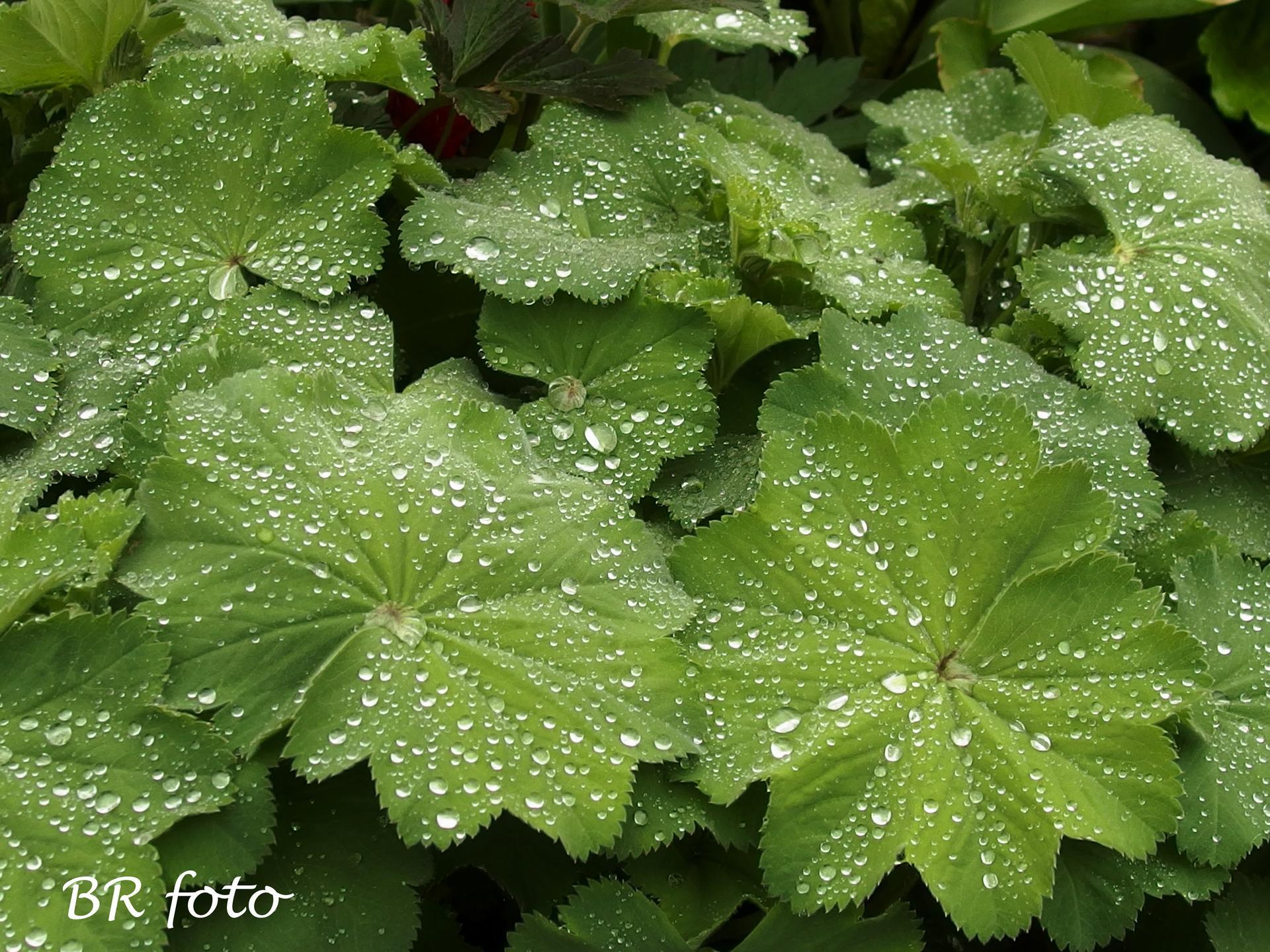 Pozvání do zahrady 2021 - kapky rosy nebo deště jsou vždy nejhezčí na kontryhelu....