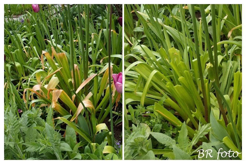 Pozvání do zahrady 2021 - zažloutlé listy bohužel často hyzdí vzhled okrasných česneků, doporučuje se žluté části otrhat, není to žádná sláva, ale trochu lepší to snad je