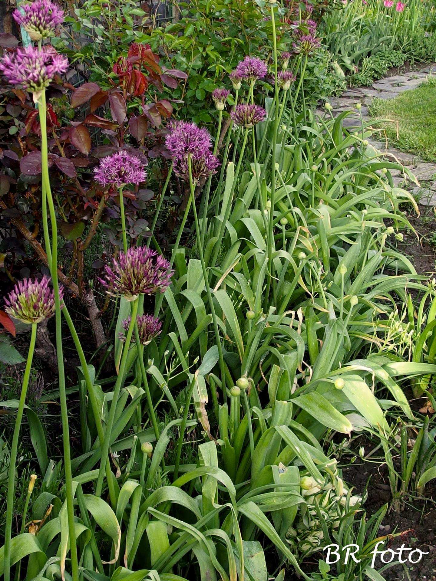 Pozvání do zahrady 2021 - vloni vysázené česneky, ty vyšší už kvetou, na ty nízké jsem zvědavá...