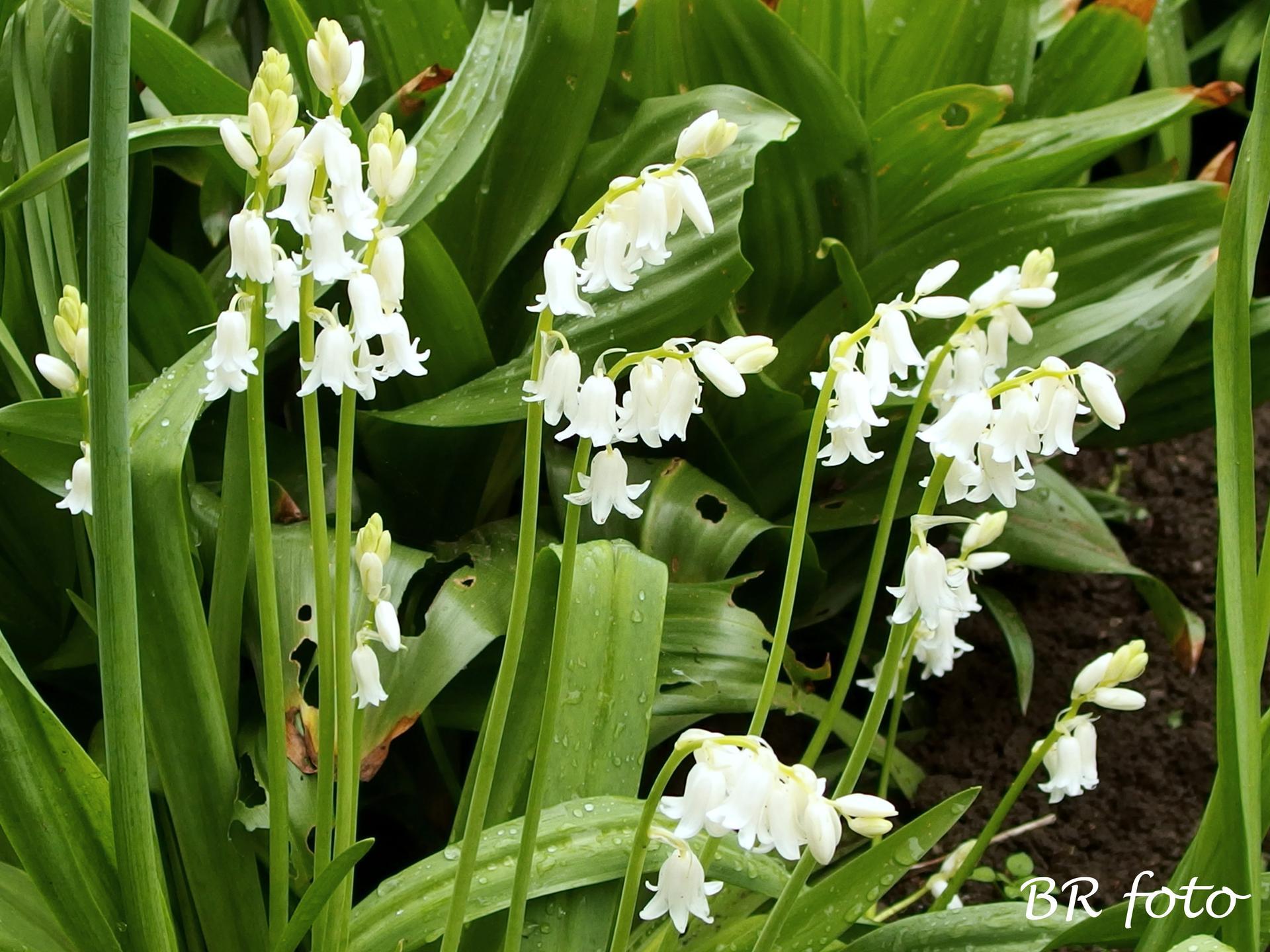 Pozvání do zahrady 2021 - hyacintovec