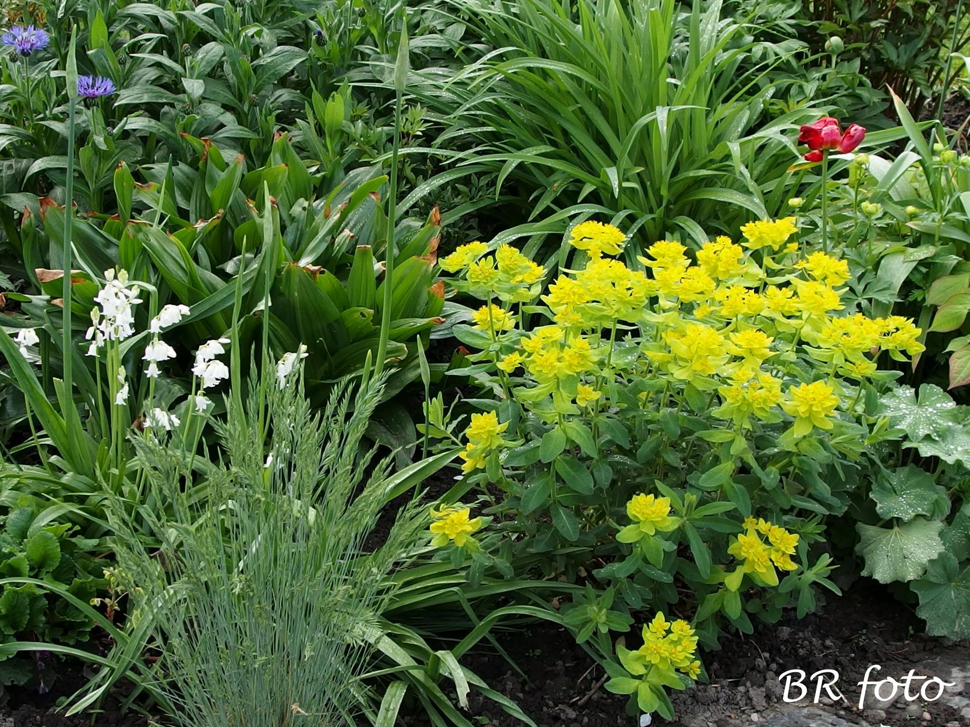 Pozvání do zahrady 2021 - pryšec mnohobarvý