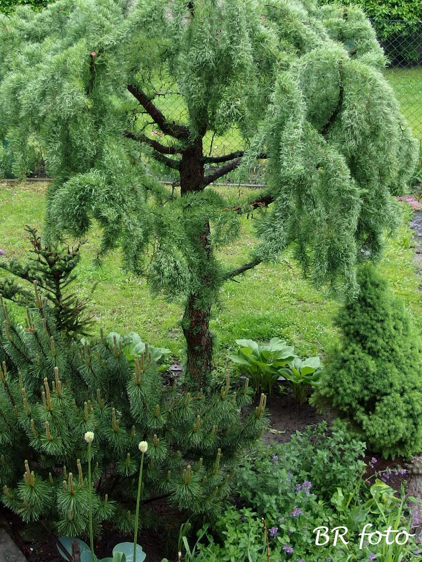 Pozvání do zahrady 2021 - modřím má krásné husté a dlouhé jehličí, je huňatý