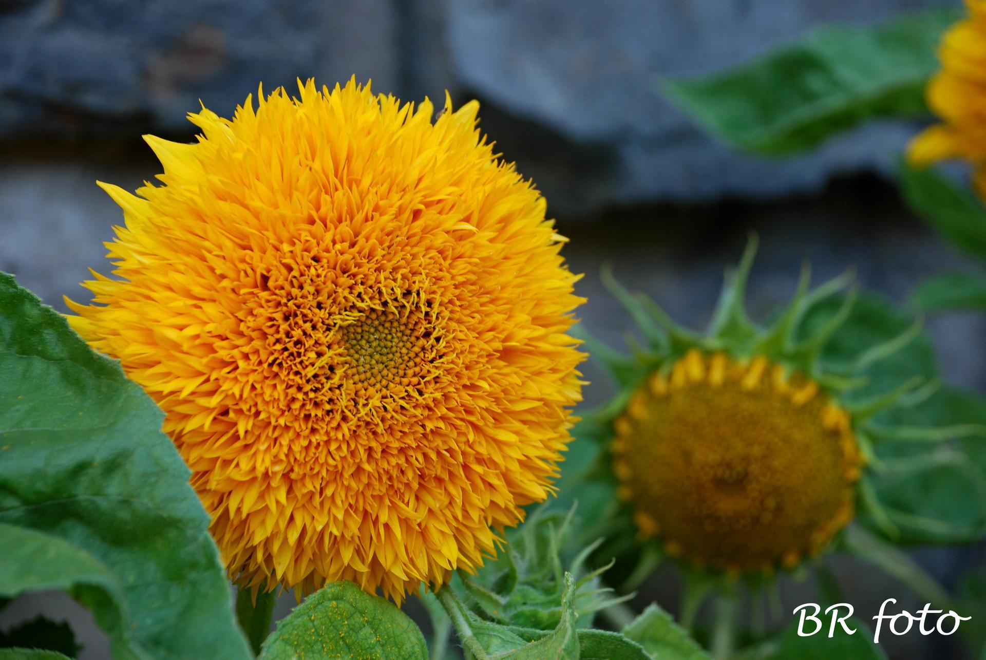 Pozvání do zahrady 2021 - nízká plnokvětá slunečnice - krasavice