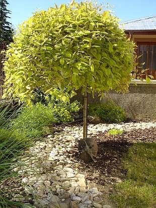 Prosim VAs ako sa vola tento strom ? Vedeli by ste mi poradit nejaky podobny na kmienku, listnaty? dakujem - Obrázok č. 1