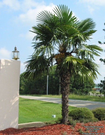 Palma Trachycarpus fortunei, Chamaerops Excelsa - Obrázok č. 1