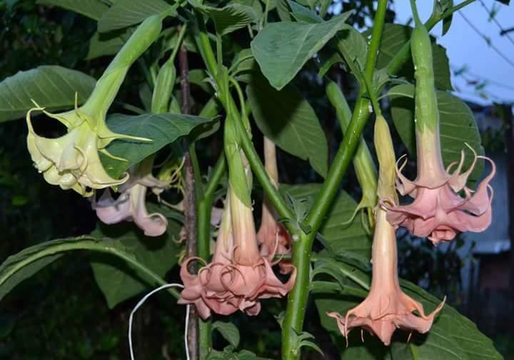 Slachtene Brugmansie - rezy, rastliny - Obrázok č. 3