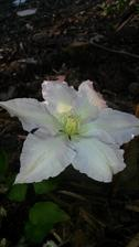 "Moje prvé záhradkárske úspechy Clematis ""Gladys picard"""