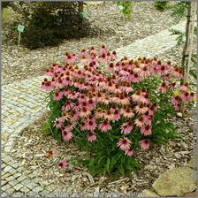 Echinacea purpurea - caj na imunitu