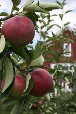Jablk mam viacej odrod