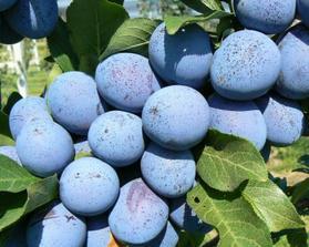 A posledne ovocie na mojej zahrade su bystricke slivky na lekvar :)