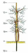 Do jednej jamky zasadíme tri stromčeky ríbezlí alebo egreša rôznych odrôd  a s rozličnou výškou kmeňov. Umiestnime k nim jeden oporný kolík, ku ktorému kmene priviažeme.