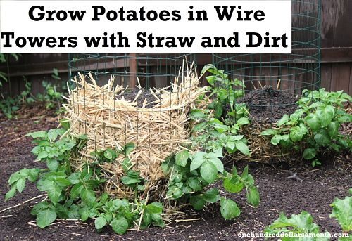 Zahradne inspiracie z netu - Zemiaky pestovane vo vezi? Zaujimave :)