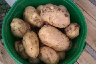 Poprvé jsme letos pěstovali brambory a zadařilo se :-)