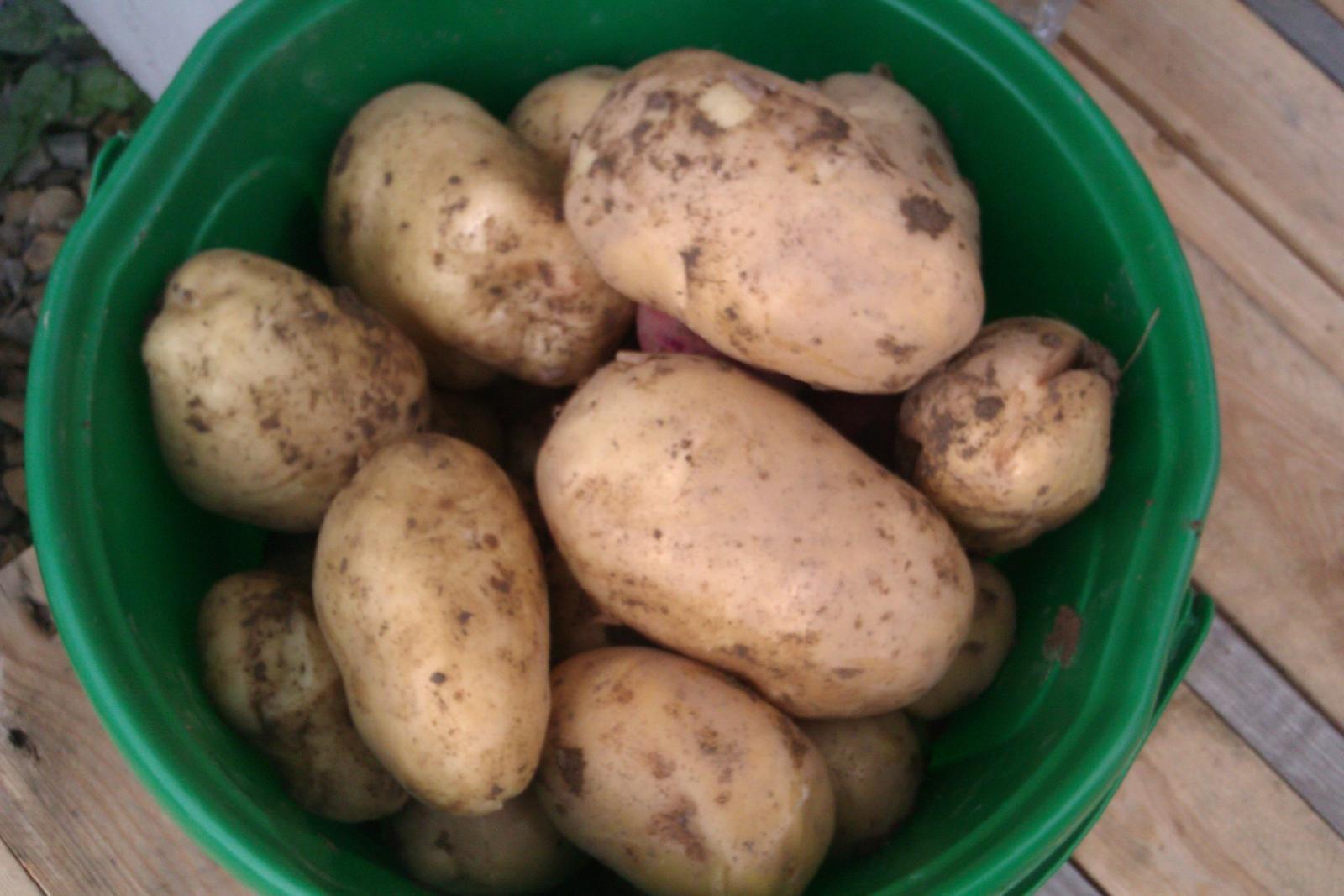 Moje výtvory v kuchyni... - Poprvé jsme letos pěstovali brambory a zadařilo se :-)